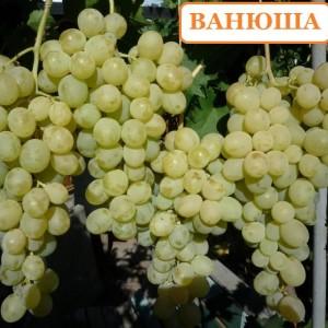 Саженец Винограда Ванюша