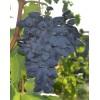 Саженец Винограда Викинг: фото и описание