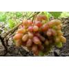 Саженец Винограда Виктор: фото и описание