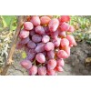 Саженец Винограда Виктор-3: фото и описание