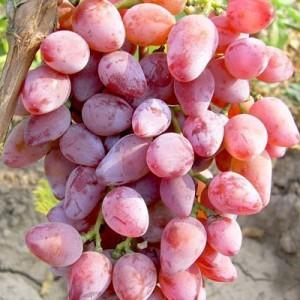 Саженец Винограда Виктор-3