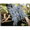 Саженец Винограда Виолетта: фото и описание