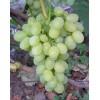 Саженец Винограда Вива Айка: фото и описание