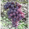 Саженец Винограда Заря Несвятая: фото и описание
