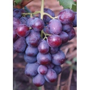 Саженец Винограда Заря Несвятая