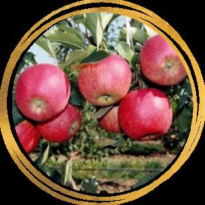 Саженец яблони Афродита