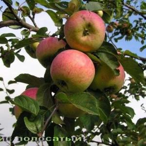 Саженец яблони Анис полосатый