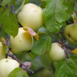 Саженец яблони Антоновка