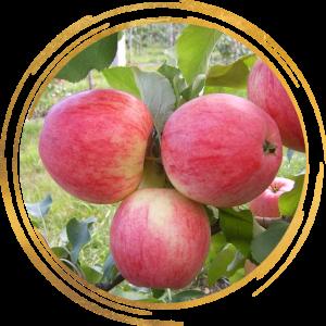 Саженец яблони Августа