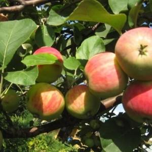 Саженец яблони Башкирская красавица