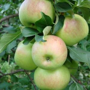 Саженец яблони Богатырь