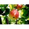 Саженец яблони Боровинка: фото и описание