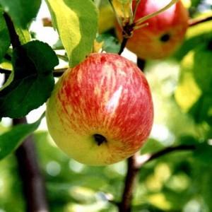 Саженец яблони Боровинка