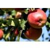 Саженец колоновидной яблони Джин-КВ-5: фото и описание