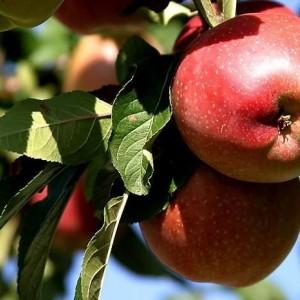 Саженец яблони Джин-КВ-5 (колоновидная)