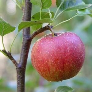Саженец яблони Джонаголд