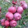 Саженец яблони Флорина: фото и описание