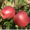 Саженец яблони Глостер: фото и описание
