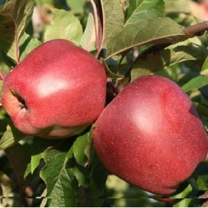 Саженец яблони Глостер