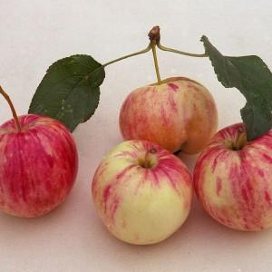 Саженец яблони Грушовка ранняя