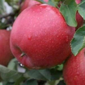Саженец яблони Хани Крисп