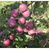 Саженец яблони Имант: фото и описание