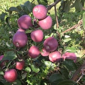 Саженец яблони Имант