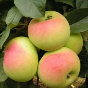 Саженец яблони Имрус