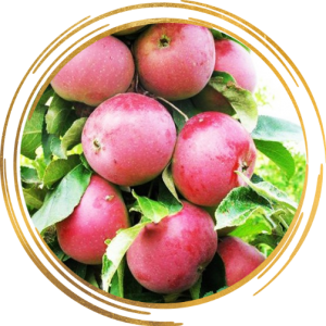 Саженец яблони колоновидной Арбат