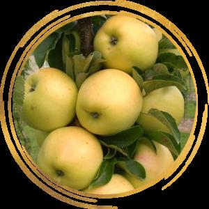 Саженец яблони колоновидной Черемош