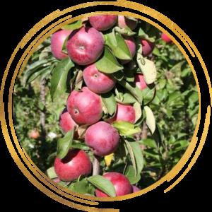 Саженец яблони колоновидной Есения