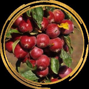 Саженец яблони колоновидной красноцветковая Манящий Аромат