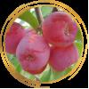 Саженец яблони колоновидной красноцветковая Розовая Сказка: фото и описание