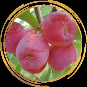Саженец яблони колоновидной красноцветковая Розовая Сказка