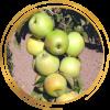 Саженец яблони колоновидной Малюха: фото и описание