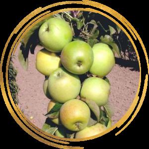 Саженец яблони колоновидной Малюха