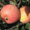 Саженец яблони Конфетное: фото и описание