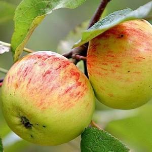Саженец яблони Коричное полосатое