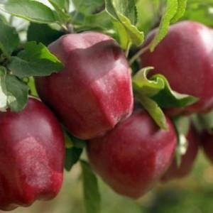 Саженец яблони Крепсон