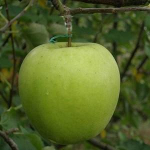 Саженец яблони Криспин