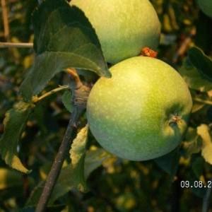 Саженец яблони Кутузовец