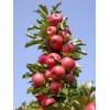 Саженец яблони КВ 17 (колоновидная): фото и описание