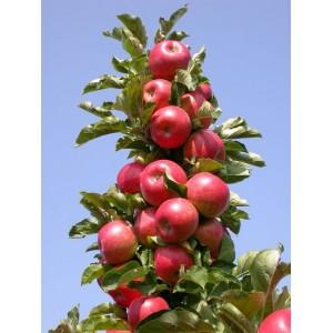 Саженец яблони КВ 17 (колоновидная)