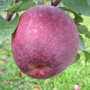 Саженец яблони Лобо