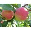 Саженец яблони Медуница: фото и описание