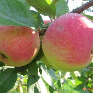 Саженец яблони Медуница