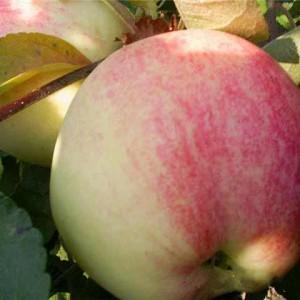 Саженец яблони Мельба