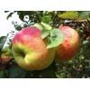 Саженец яблони Орловим: фото и описание