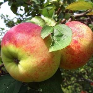 Саженец яблони Орловим