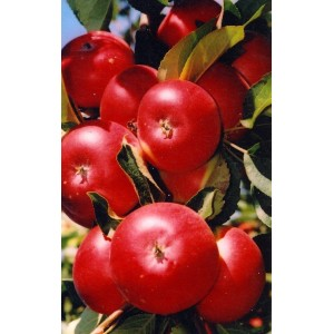 Саженец яблони Останкино (колоновидной)